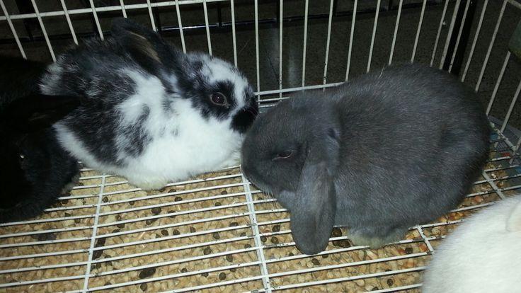 Conejos enanos orejas volcadas