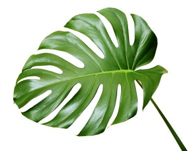 Greenery And Foliage Used In Fl Arrangements Monstera Flower Info Pinterest Leaves Tropical