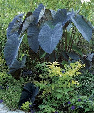 Give Your Border a Tropical Punch: Punch Elephants, Gardens Ideas, Flowers Growing, Elephant Ears, Tropical Punch, Blue Purple Elephants, Border, Colocasia Elephants Ears, Gardens Growing