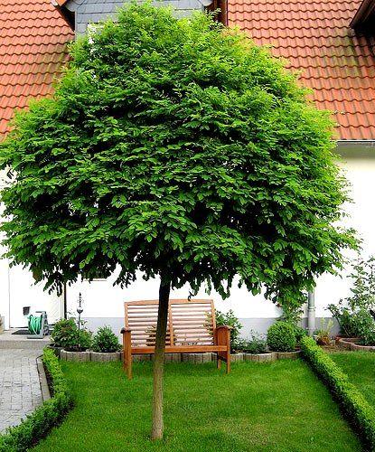 Fraxinus excelsior 'Nana' (boles) houdt van voedzame, vochtige grond. F. ornus 'Mecsek' draagt witte bloempluimen. Geveerd blad.