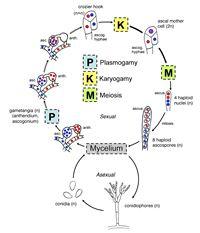 Ascomycota_general life cycle