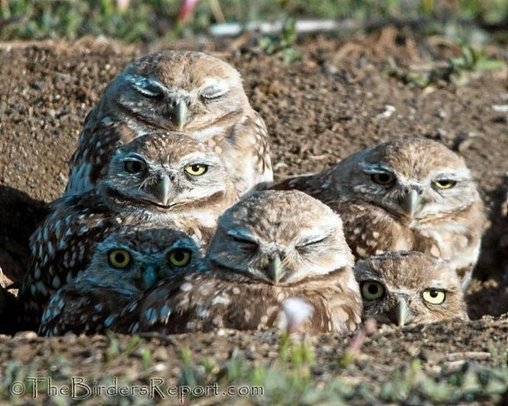 Burrowing Owl | ... by the birder s report com a burrowing ...