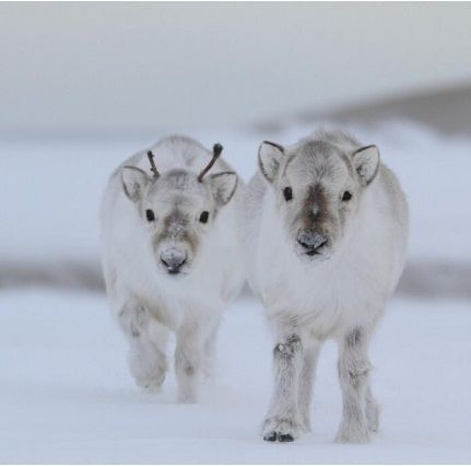 Baby Reindeers - that is just ridiculously cute!