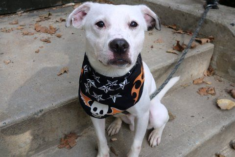 Manhattan Center SPOTTIE – A1092074 MALE, WHITE / BLACK, FEIST MIX, 1 yr STRAY – STRAY WAIT, NO HOLD Reason STRAY Intake condition UNSPECIFIE Intake Date 10/02/2016, From NY 10456, DueOut Date10/05/2016
