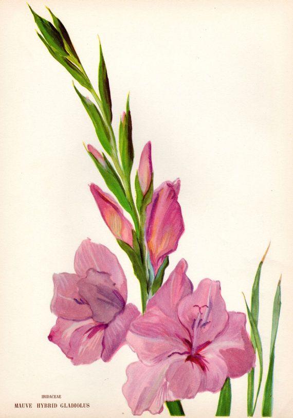 1946 Vintage Botanical Print Gladiolus Mauve by ...