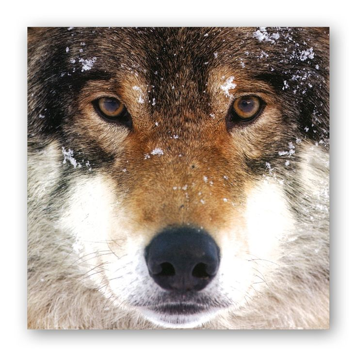 Wolf christmas cards best celebration day