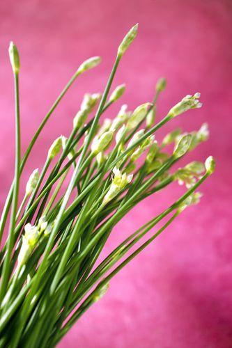 Nouvelles herbes aromatiques Darégal, ciboulail  Prise de vue pour les nouvelles herbes aromatiques #Darégal. Connaissez-vous la #bourrache, la #ciboulail, la #pimprenelle ? Découvrir ou confirmer votre savoir des #herbes #aromatiques, pour avoir des idées et goûter à toutes leurs #saveurs, www.daregal.fr.
