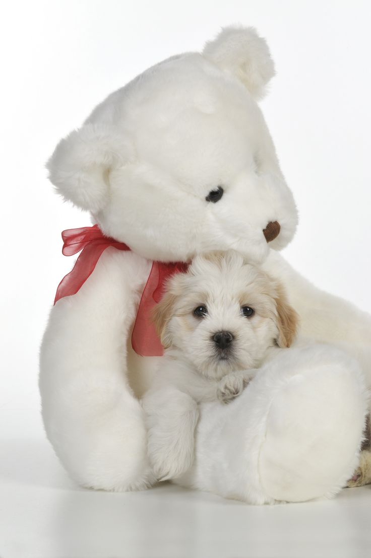 Tiara Teddybear Teddy Bear Dog Small Teddy Bears Bear