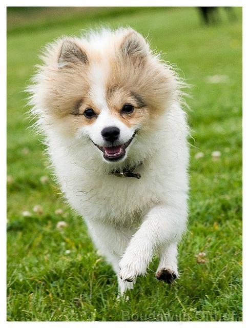 Pomeranian dogs:  pup 'Simba'    Like, repin, share! :)