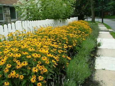 Best Perennials for Southeastern PA, Top Performers in Philadelphia, Delaware County, Chester County, & Pennsylvania Main Line.  Black eyed Susan.