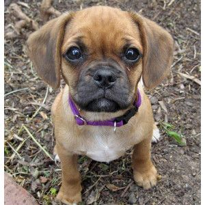 Lilly the Cavalier King Charles Spaniel / Pug Mix