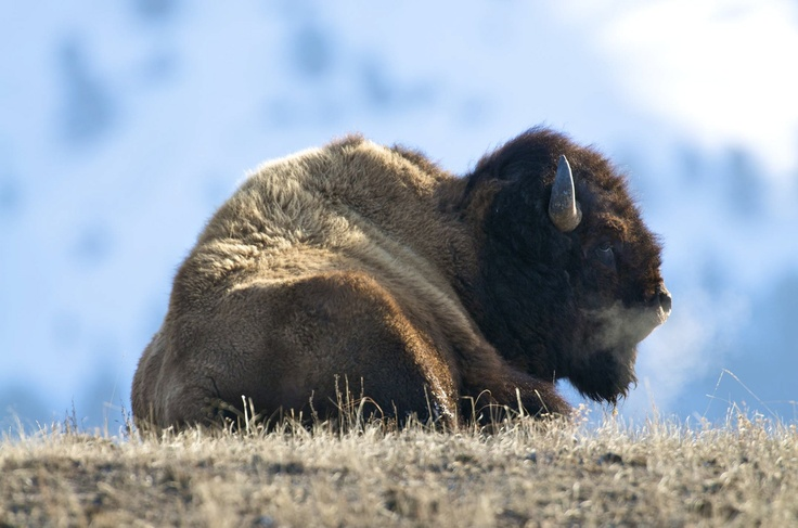 Did you know: Bison have a specially adapted hump and they use their own head to plow snow in winter to get at grasses underneath.  No wonder Buffalo is called Buffalo! =): Adaptive Hump, Interesting Animal, Animales Loves, Grass Underneath, Special Adaptive, Physics Therapy, Plowing Snow, Call Buffalo, Physical Therapy