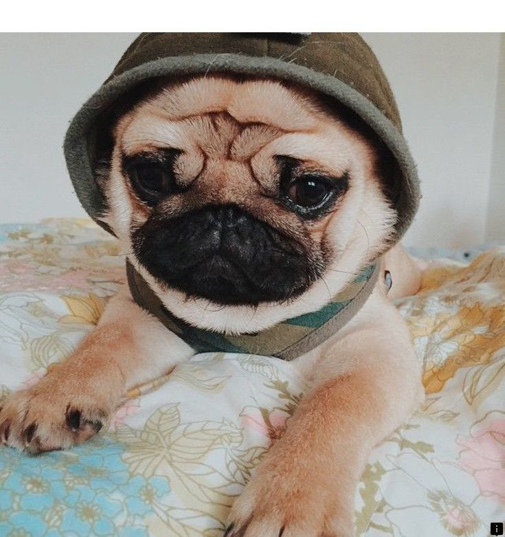 About Mini Pugs For Please Click