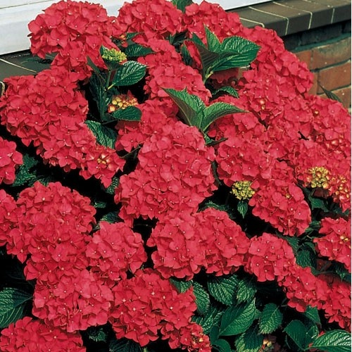 this are so beautiful!!!  Royal Red Hydrangea