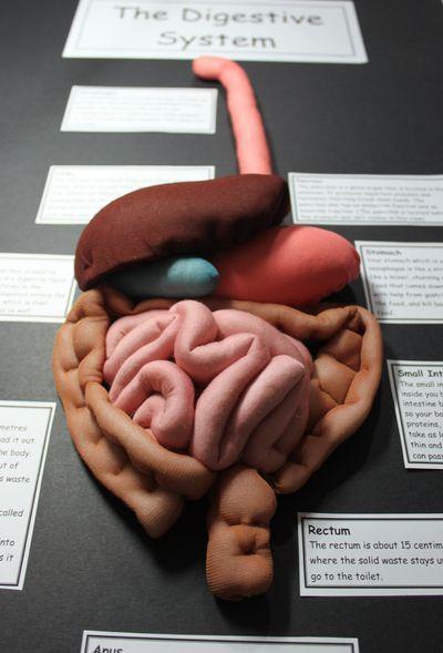 Un modelo 3D del sistema digestivo humano. #Anatomía