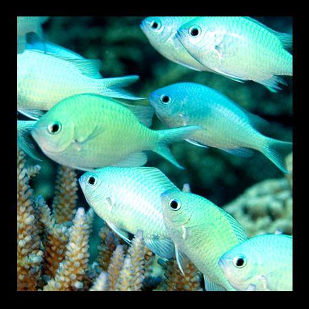 Grön+Chromis+är+en+pigg+saltvattensfisk+som+är+allätare.+Akvariefisk+som+hålls+i+stim.+Grön+Chromis+latinskt+namn:+Chromis+viridis,+ursprung:+Asien,+temperatur+22-28,+pH+range:+8.0+?+8.5,+dH+range:+5+-+19