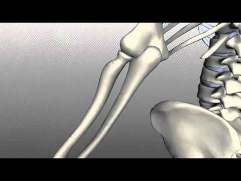 Scapula and Clavicle - Shoulder Girdle - Anatomy Tutorial - YouTube