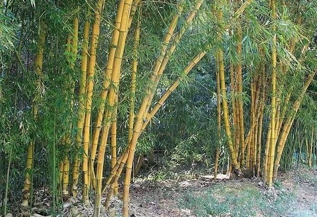 Huge 80 Seeds Pack Giant Phyllostachys Scens Moso Bamboo Hardy