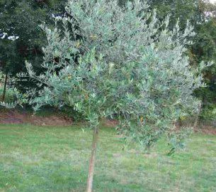 25 best ideas about pruning olive trees on pinterest