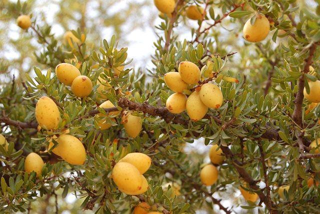 Fruit de l'arganier