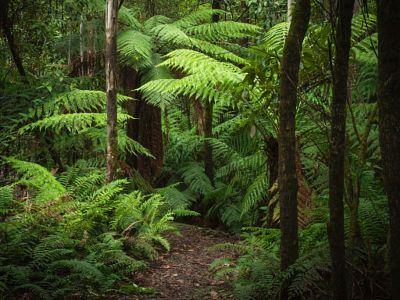 Copyright, 2016. Natalie Uscinas. Fern Gully. Mount Macedon. Victoria, Australia.
