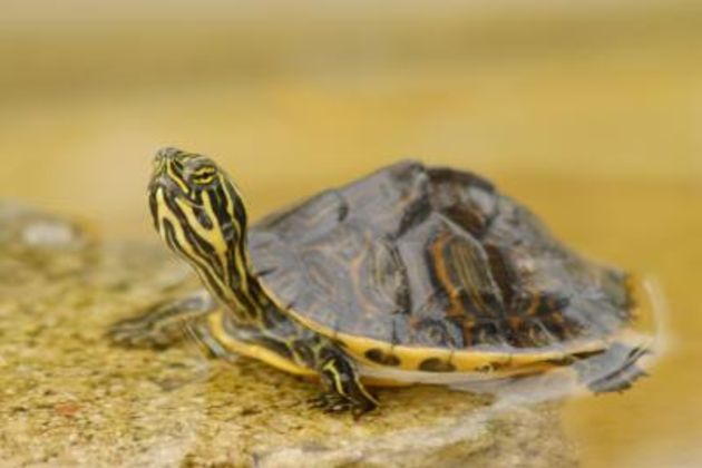 The location plays a key role in determining what type of turtle you have, since water turtles live in different environments. Description from ehow.com. I searched for this on bing.com/images