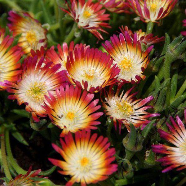 Delosperma cooperi 'Jewel of the Desert Ruby' (ice plant)