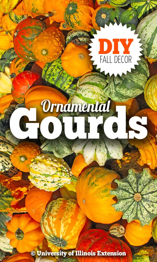 DIY: How to Preserve Ornamental Gourds (gourds can be dried and cleaned and used in place of plastic bottles for deep watering vegetables in garden beds).