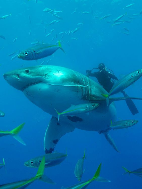 Baha California - Guadalupe Island - Home to some of the largest White Sharks in the world