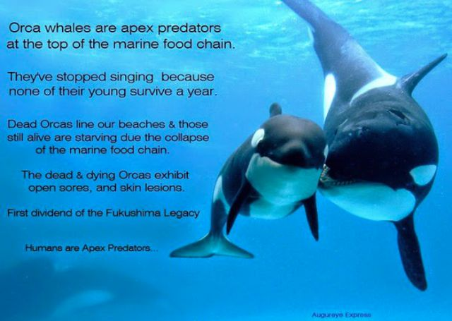 Radiation From Fukushima Now Causes 100% Infant Mortality Rate In West Coast Orcas