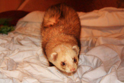 Advice on keeping your ferret's cage from smelling too much.