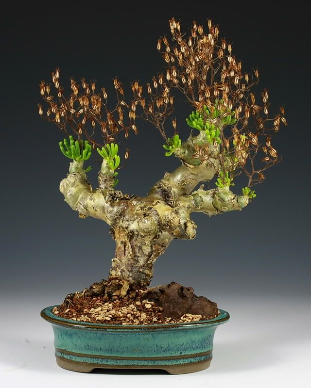 86 best images about tylecodon on pinterest trees for Rare bonsai species