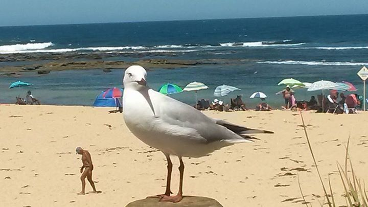 Giant Australian Seagull. The man is trying to sneak away while the bird is distracted by a chip