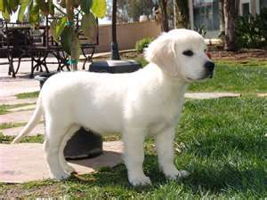 English Creme Golden Retriever <3 Totally getting one when I'm old enough