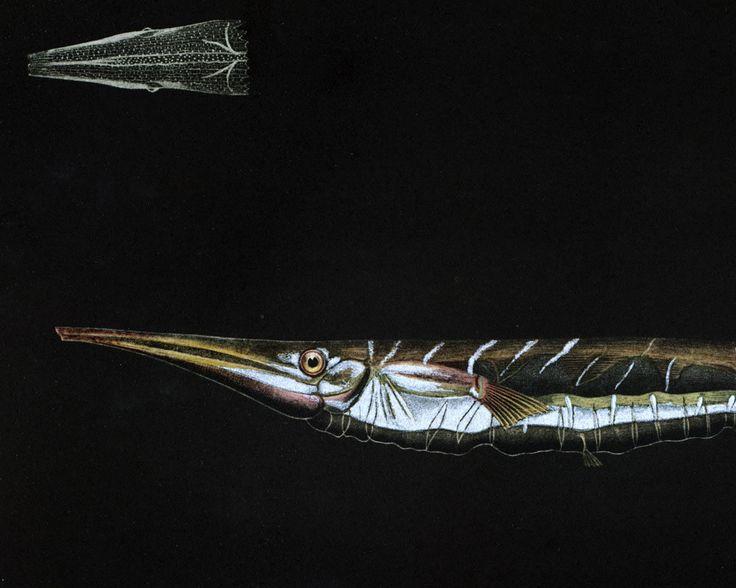 1932 Poisson Rasoir. Centriscus scutatus. Gravure Originale. Poisson Tropical. Ichtyologie. Aquariophilie. de la boutique sofrenchvintage sur Etsy