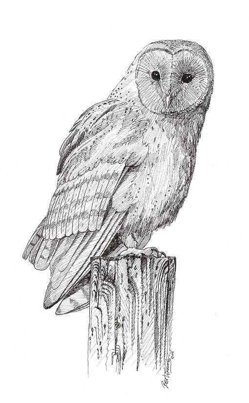 Pics Photos - Barn Owl Sketches Pencil Drawings Wildlife ...