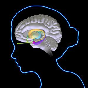The Limbic System and Our Emotions: Brain anatomy illustration including limbic system structures. The caudate nucleus, putamen, globus pallidus (yellow), the fornix (green), the thalamus (light blue), the hypothalamus (dark blue), the hippocampus (purple), the amygdala (pink), the mammillary body (dark yellow), the olfactory bulbs (light green).