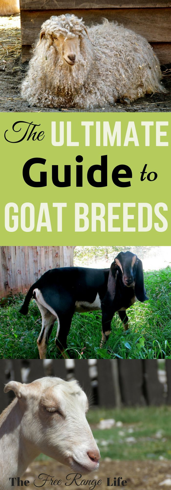 Do you want to raise goats? Click to learn more about all of the different goat breeds and see which is right for you!