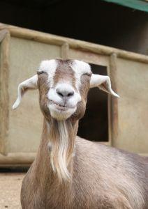 620159_smiling_goat