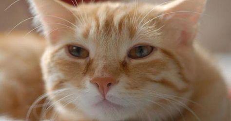 Caspa en gatos: causas, tratamientos y soluciones
