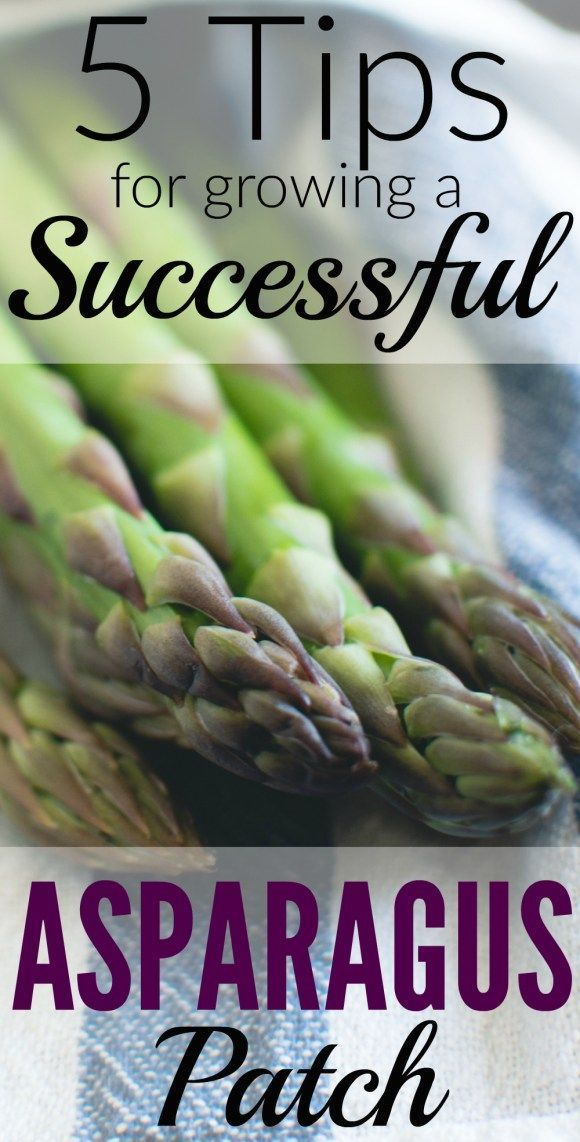 5 Tips for Growing a Successful Asparagus Patch! | TheProjectPile.com
