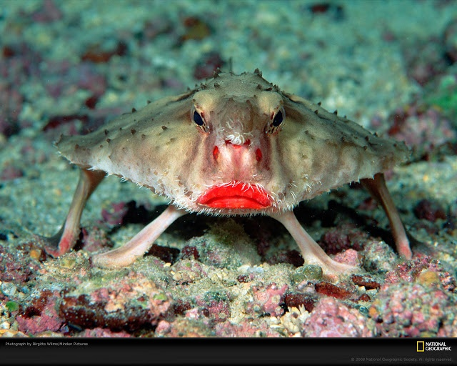 The red-lipped batfish (Ogcocephalus darwini) is an unusual looking fish found on the Galapagos Islands. Red-lipped batfish are closely related to rosy-lipped batfish (Ogcocephalus porrectus), which are found near Cocos Island off the coast of Costa Rica. Both fish species look and behave very similarly to one another.