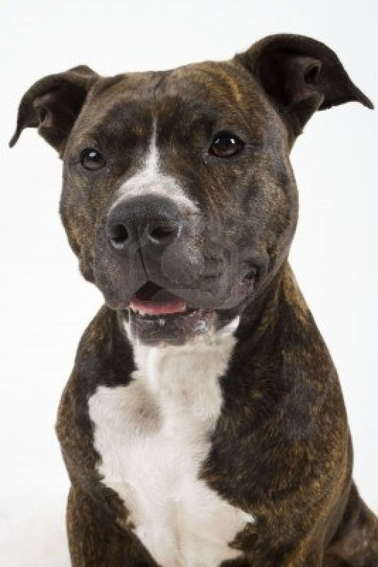 an #AmericanStaffordshireTerrier #Brindle, I love these