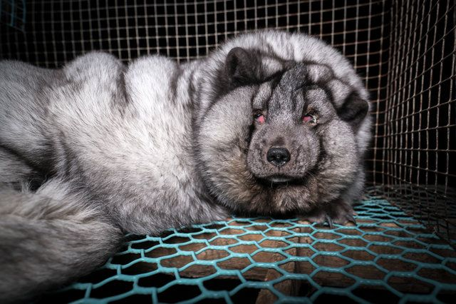 Loose-skinned arctic foxes being bred in Finland