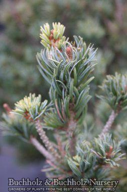 pinus parviflora arnold dwarf