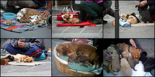 Pourquoi c'est important Sans faire l'amalgame avec les SDF et leurs seuls compagnons d'infortune, on assiste en France, sur les trottoirs Parisiens, ainsi que sur ceux de toutes les grandes villes, à l'explosion d'une nouvelle forme de mendicité exposée aux regards de tous, basée sur l'exploitation d'animaux de toutes sortes mais principalement de chiens et chats rendus amorphes par leurs détenteurs. Ces animaux paraissent endormis, malades ou en état de soumission totale car ils sont…