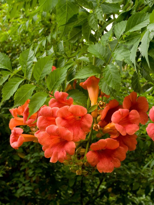 Trumpet Vine Once you plant it you will have it forever.  I have pulled them up of 5 years and they still come back.