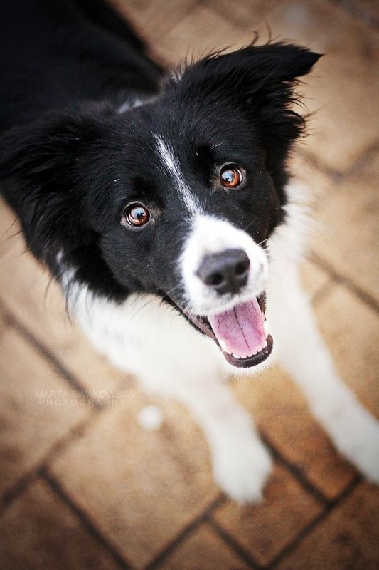 Border collie puppy dog