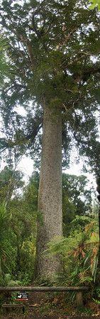 Aunt Agathis - Agathis australis Kauri tree at Cascade Kauri park Waitakere Ranges. 1994.