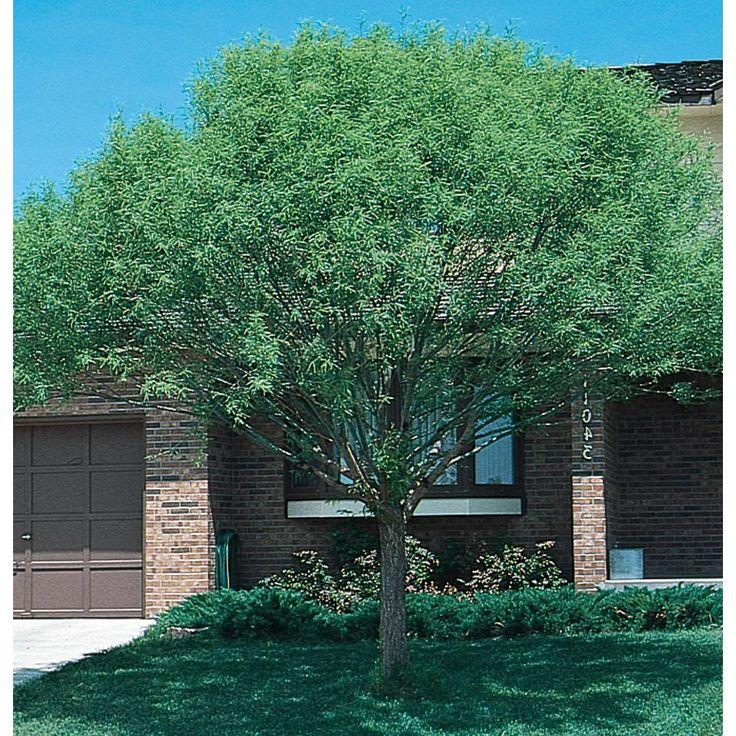 3.58-Gallon Globe Willow Shade Tree (L1412)   Shade trees ...